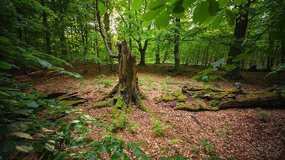 WaldWildnis